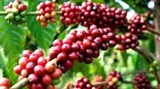 domestic coffee companies concede home market to foreign firms