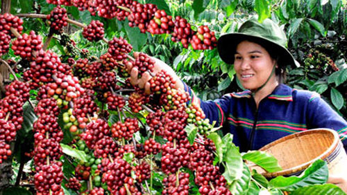 A better future is percolating for Dak Lak coffee