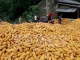 vietnam allows commercialization of three gm maize varieties