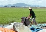 paddy rice prices on the rise amid severe saltwater intrusion