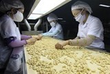 vns cashew exports expected to stay stable
