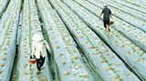 fdi firms set up links with farmers