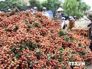 Bac Giang boosts litchi exports to potential markets