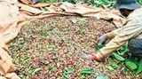 vietnam considers joining big exporters to stop coffee price slide