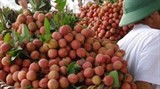 bac giang targets lychee exports to new markets