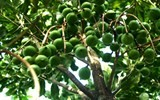 vietnam to expand macadamia on nearly 10000ha by 2020
