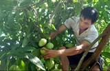 australia to import vietnam mangoes