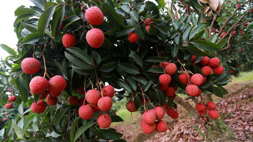 Opening the flood gates for litchi and longan exports