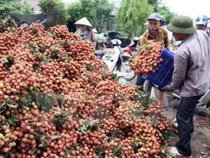 Ministry to boost sales of lychees