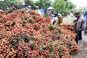 Lychee productivity likely to hit 200,000 tonnes