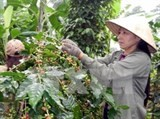 coffee output drops one fifth due to bad weather