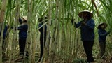 sugarcane industry needs to slash costs