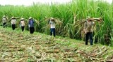 sugar firms face bitter competition in region