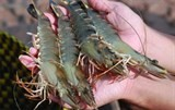 eur25 million project launched to support shrimp value chain development in mekong delta