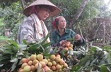quality image focus urged for lychee exports
