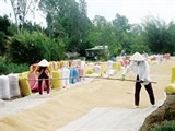 mekong delta farmers well profit from summer autumn rice