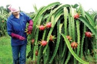 roaring trade for dragon fruit exports