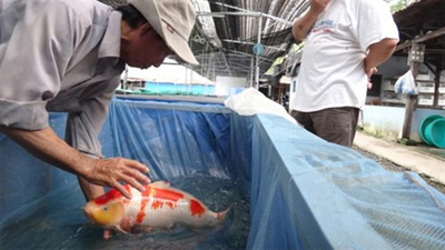 Ornamental fish exports bring $7mn to HCM city