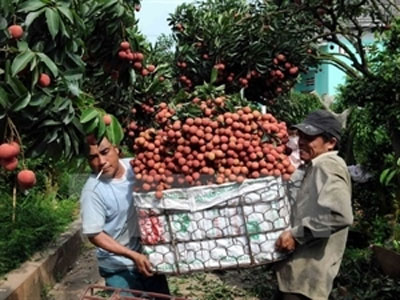 Bac Giang earns billions of dong from lychee