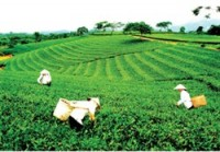 vietgap standards improve tea quality