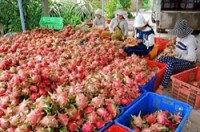 binh thuan to strictly handle illegal chinese dragon fruit traders