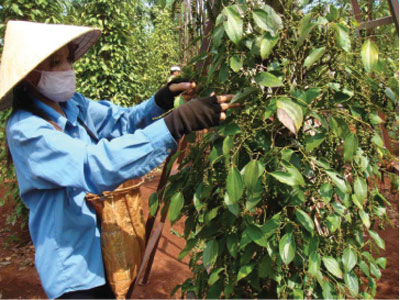 Creating breakthroughs in pepper processing