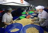 vietnam exports 150000 tons cashew nut in first half of 2015