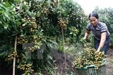 vn to ship longan to us for first time