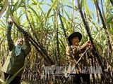 sugar production to reach 156 million tonnes