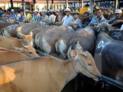 Vietnam - second largest cattle importer of Australia