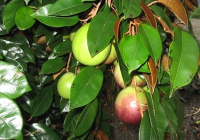 US may allow import of Vietnam's star apples