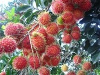 rambutan on hit on dong nai farms