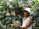 hanoi ready to ship first late ripening longan batch to us