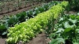 japanese firm to implement organic vegetable project in ha nam