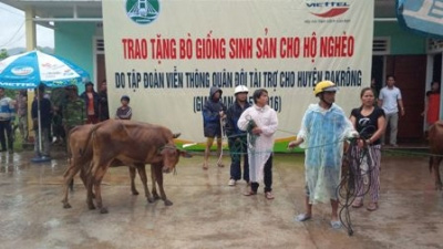 Quang Tri presents breeding cows to poor households