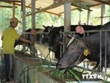 japans beef cows to be raised in ha nam