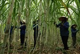 australia and viet nam sign agreement to exchange sugar cane varieties