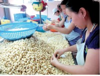 cashew nuts maintain growth