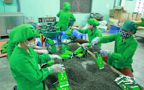 Shrinking prices lower Vietnam's tea export value