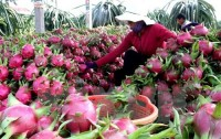 vietnamese dragon fruit to access australian market