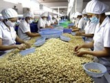 cashew spotlight in agricultural export