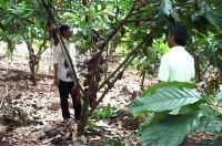 cocoa to be grown with cashew trees