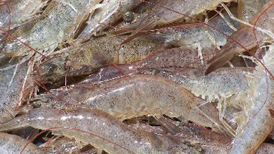 White-leg shrimp much sought after in Germany