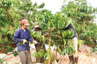 gia lai develops coffee on sustainable basis