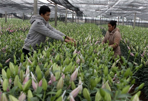 For Hanoi gardeners, lilies are beautiful business