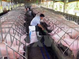 jica helps hoa binh with native pig breeding