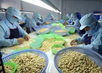 ten month cashew export enjoys robust growth
